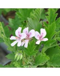 Géranium odorant - Pelargonium citriodorum