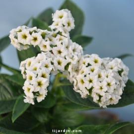 Heliotrope blanc
