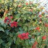 Clerodendrum splendens-Clérodendron splendide