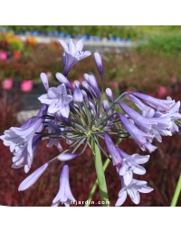 Agapanthus 'Liam's Lilac'