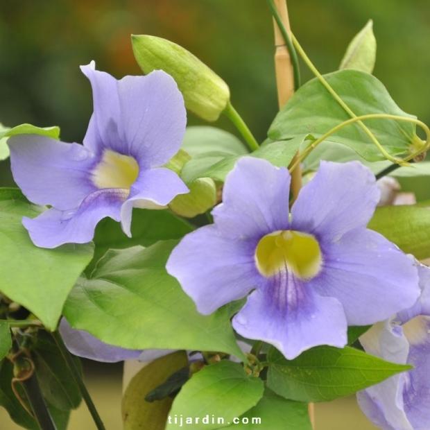 Thunbergia grandiflora 'Augusta Blue'