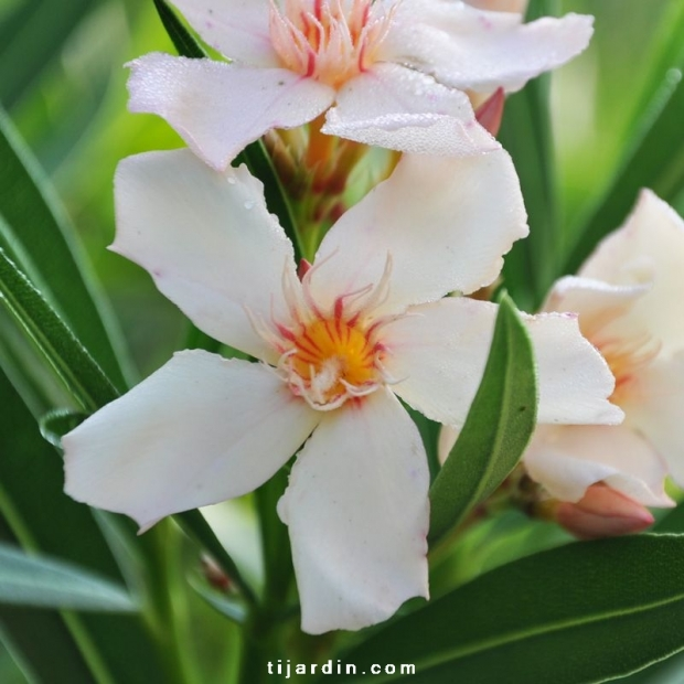Nerium oleander 'Angiolo Pucci'