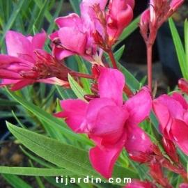 Nerium oleander 'Emma'