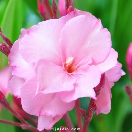 Nerium oleander 'Mrs Roeding'