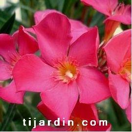 Nerium oleander 'Papa Gambetta'