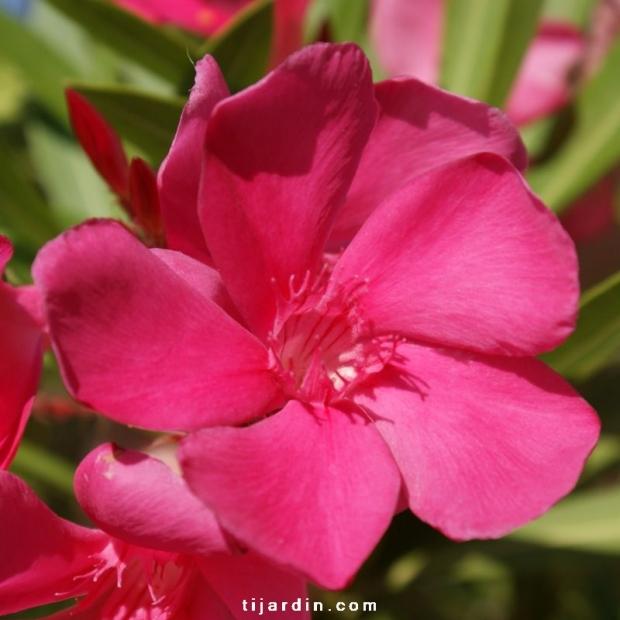 Nerium oleander 'Framboise'
