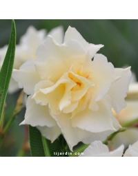 Nerium oleander 'Luteum Plenum'