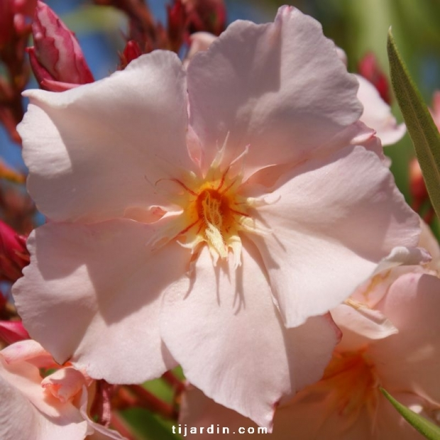 Nerium oleander 'Provence'