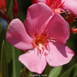 Nerium oleander 'Souvenir d'Emma Schneider'