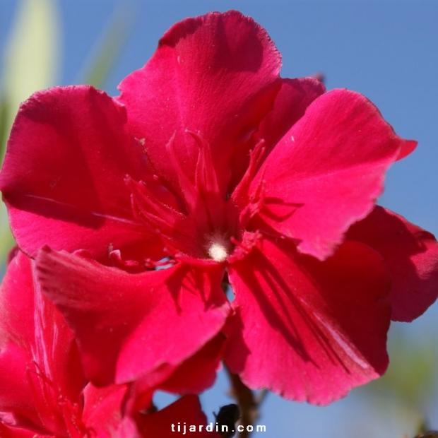 Nerium oleander 'Commandant Barthélémy'