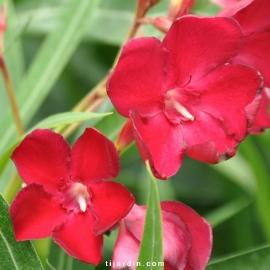 Nerium oleander 'Emile Sahut'