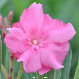 Nerium oleander 'Rose de Borel'