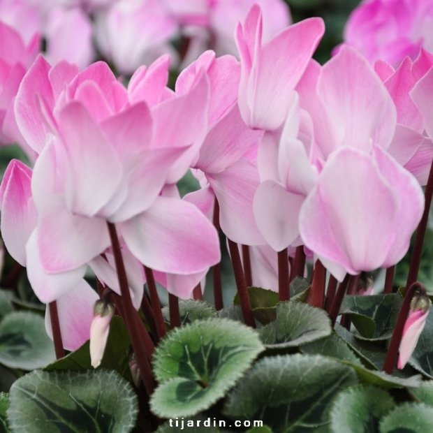 Cyclamen 'Blush' Intense