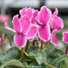 Cyclamen 'Curly®' violet