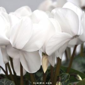 Cyclamen 'Dhiva' blanc