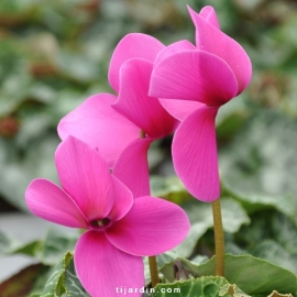 Cyclamen 'Dhiva' violet