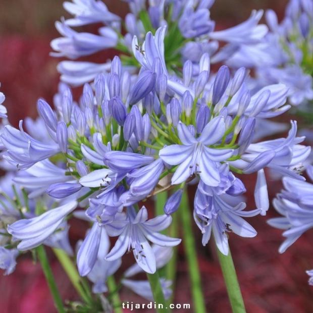 Agapanthus 'Pitchoune Blue'