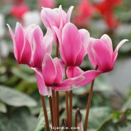 Cyclamen Outstanging FANTASIA® rose