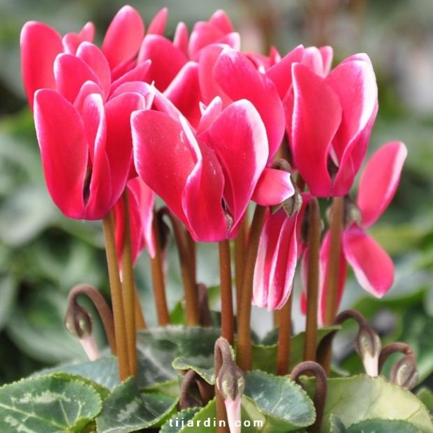 Cyclamen Outstanding 'FANTASIA®' rouge-fuchsia