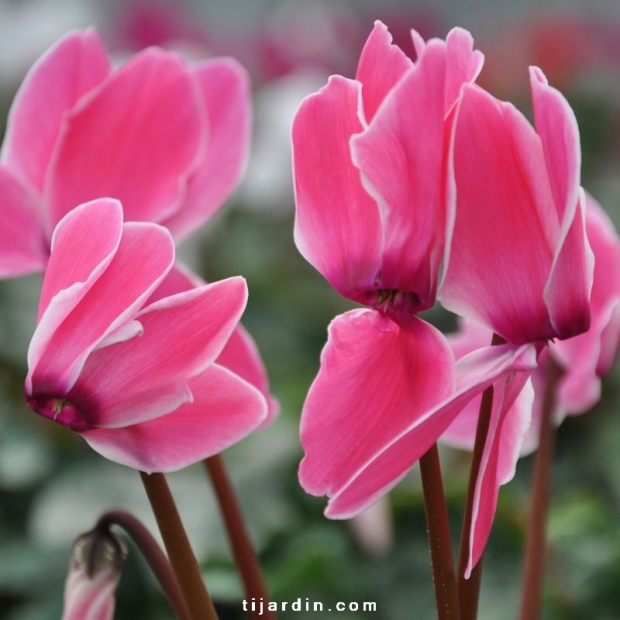 Cyclamen 'Flammé' rose