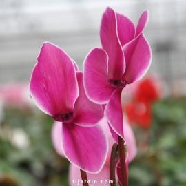 Cyclamen 'Flammé' violet