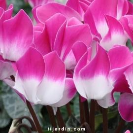 Cyclamen Outstanding 'Indiaka®' violet