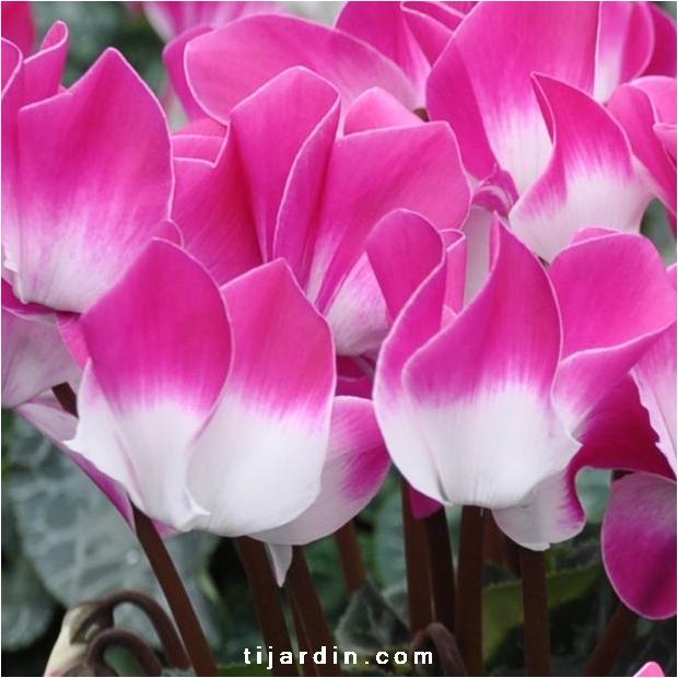 Cyclamen 'Indiaka®' violet