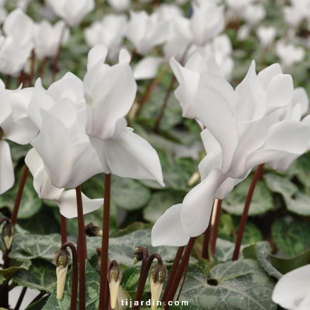 Cyclamen outstanding blanc