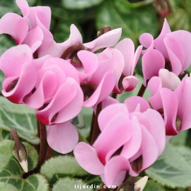Cyclamen outstanding rose claire à oeil fuchsia