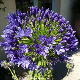 Agapanthus 'Regal Beauty'