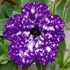 Petunia bicolore