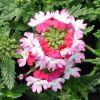 Verveine bicolore-Verbena