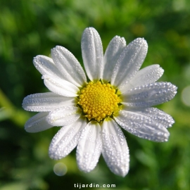 Agathea coelestis-Felicia