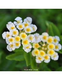 Lantana camara repens 'Ice Cream'