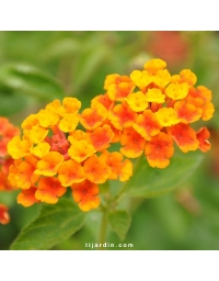 Lantana camara repens 'Orange Carpet'