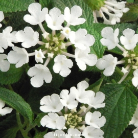 Lantana sellowiana 'Blanc'