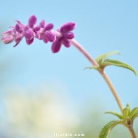 Sauge Salvia leucantha