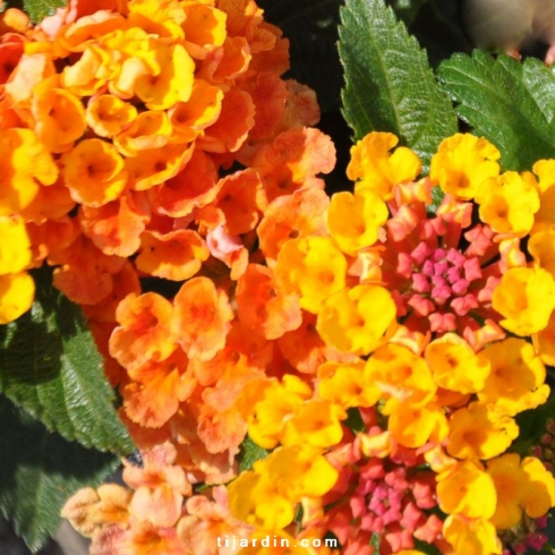 Lantana camara 'Bandana Sunrise Orange'