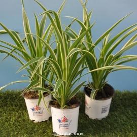 Chlorophytum cosmosum 'Variegata'