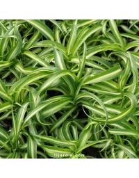Chlorophytum cosmosum 'Variegata' tortueux