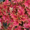 Coleus 'Copper'-Solenostemon