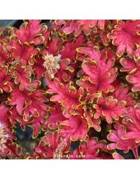 Coleus 'Copper'-Solenostemon