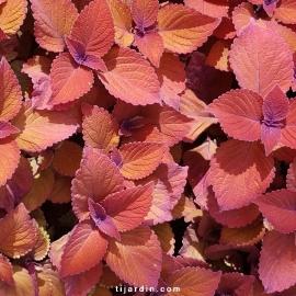 Coleus 'Ethna'-Solenostemon