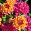 Lantana camara 'Lucky Sunrise Rose'