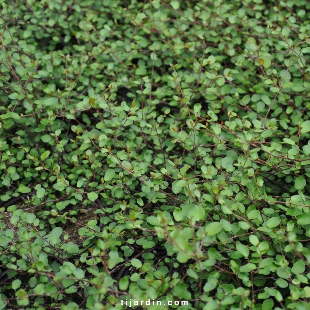 Muehlenbeckia microphylla