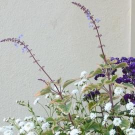 Plectranthus 'Blue Spire'