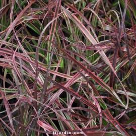Cenchrus advena 'Fireworks' Pennisetum setaceum