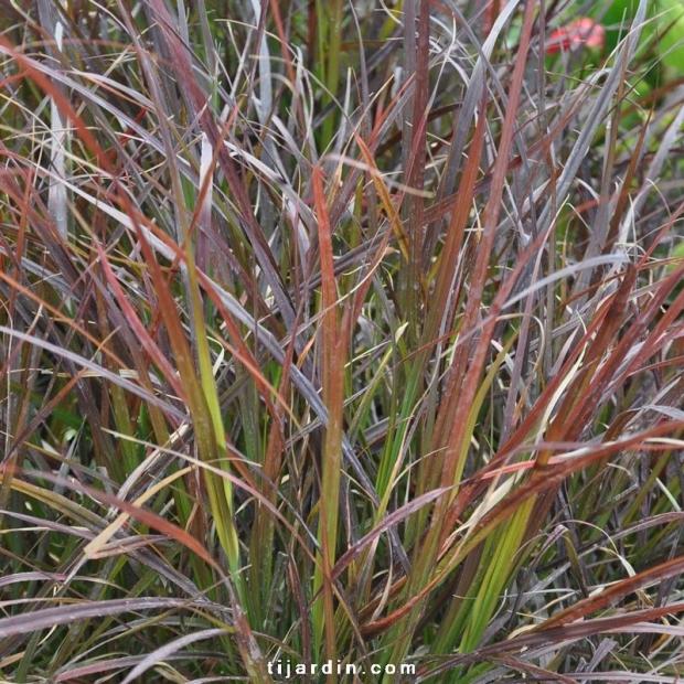 Cenchrus advena 'Rubrum' Pennisetum setaceum