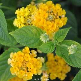 Lantana camara 'Lucky Pot of gold'