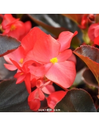 Begonia x 'Big' feuillage bronze